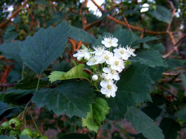结红果的植物-路边的山楂花和它已经结下的果,曾经在它红了的时候我吃过.-金德